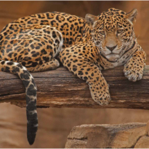 Jaguar #4_Ron Denk_Assigned Salon Zoology & Domestic Animals_Honorable Mention