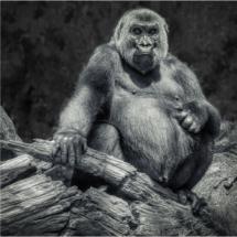 Mountain Gorilla_Ellen Stein_Assigned Salon Zoology & Domestic Animals_Equal Merit