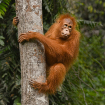 Orangutan 2_James Bluck_Assigned B Zoology & Domestic Animals_Honorable Mention