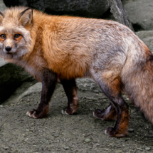 Red Fox_Sherryl Gilfillian_Assigned A Zoology & Domestic Animals_Equal Merit