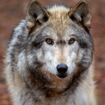 Wolf #2_Sherryl Gilfillian_Assigned A Zoology & Domestic Animals_Equal Merit
