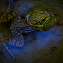 Frog in Water_Christine Truhe_Open B_Honorable Mention