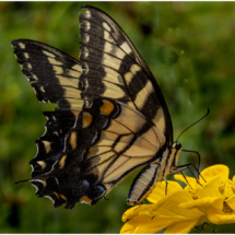 butterfly_Nellie Stolarz_Open B_Honorable Mention