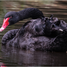 Australian Black Swan_Ron Denk_Open Salon_Honorable Mention