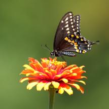 Black Swallowtail_Nick Palmieri_Open Salon_Honorable Mention