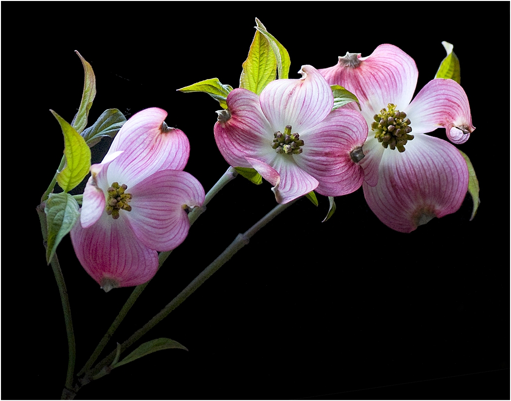 Image of the Month - Salon - Dogwood by Janet Bongiovanni