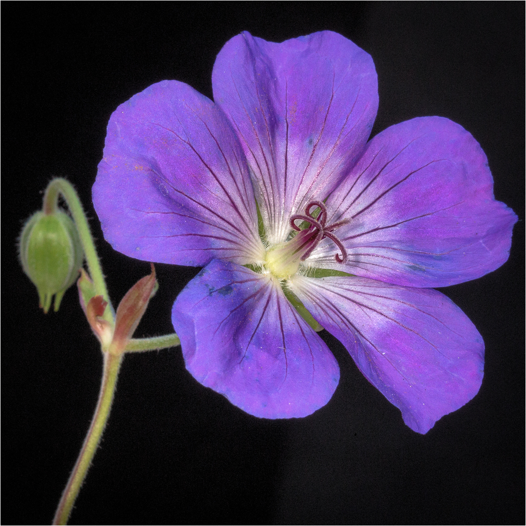 November-Open-A_Dave-Williams_Second-Place_Geranium-Roxanne_20151123