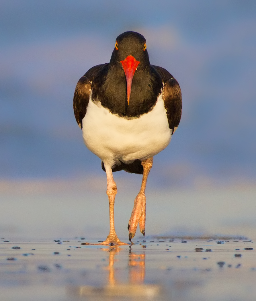 November-Open-Salon_Jessica-Kirste_Top-Award_Oystercatcher-On-the-Move_20151123