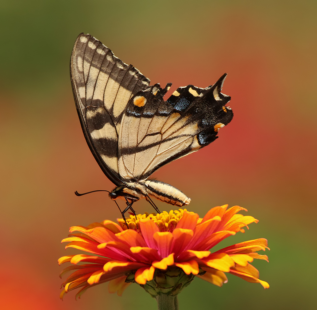 September-Open-B_Ron-Sammond_Top-Award_Eastern-Tiger-Swallowtail