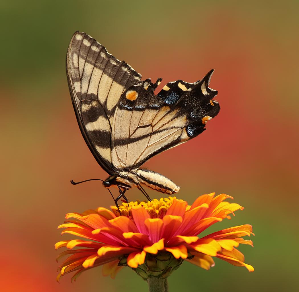 September-Open-B_Ron-Sammond_Top-Award_Eastern-Tiger-Swallowtail